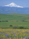 Field of Arrowleaf Balsamroot and Lupine  Washington  USA
