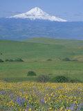 Field of Arrowleaf Balsamroot and Lupine  Washington  USA