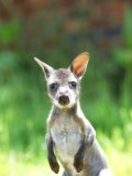 Red-Necked Wallaby  Young  UK