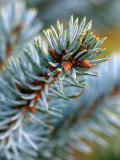 "Picea Pungens ""Koster "" Close-up of Branch"