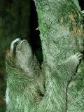 3-Toed Sloth  Bci  Panama