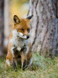 Red Fox  Sitting in Grass Next to Pine Tree  Lancashire  UK