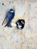 Sand Martin  Adult at Nest Site with Juveniles at Entrance Hole  Norfolk  UK