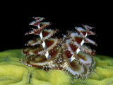 Christmas Tree Worm  Belize  Caribbean