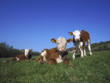 Hereford Cattle  Calves in Grass Meadow  UK
