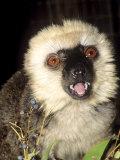 White-Fronted Lemur  Male Feeding