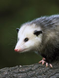 Opossum  Close-up Portrait  USA