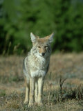 Coyote  Canis Latrans Adult Standing on Forest Edge Yellowstone National Park  Wyoming