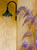 Wisteria Growing at St Francis Vineyards and Winery  Sonoma Valley  California  USA