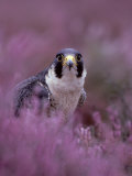 Peregrine Falcon  Falco Peregrinus Male Amongst Heather