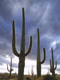 Saguaro Cactus  Backlit  AZ