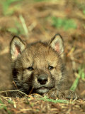 Grey Wolf  Pup at Den in Spring