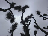 Branches of a Joshua Tree  Mojave Desert  Southern California