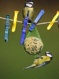 Blue Tits  Feeding on Feeder