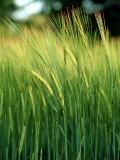 Barley in Summer  Scotland