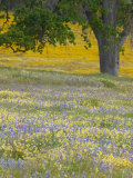 Lone Oak and Spring Wildflowers  San Luis Obispo County  California  USA