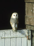 Barn Owl  Tyto Alba Adult Perched on Stable Door  Scotland Cairngorms National Park  Scotland