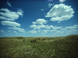 Small Herd of Bison Graze Native Grasses on a Nebraska Prairie