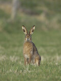 Brown Hare  Adult Alert  Scotland