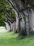 Beech Trees at Badbury Rings  UK