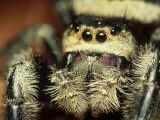 Jumping Spider  Phidippus Audax Florida  Ocala National Forest