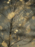 The Frozen Branches of a Small Birch Tree Sparkle in the Sunlight  Waynesboro  Pennsylvania