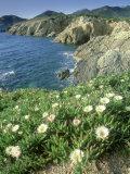 Pigface Plant  Flowering  La Corse  France