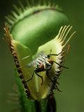 Venus Fly-Trap  Dionaea Muscipula  With House Fly  Coastal N& S Carolina