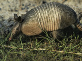Nine-Banded Armadillo  Melbourne  Florida