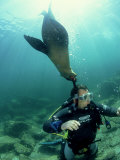 Diver with Californian Sea Lion  Mexico