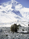 Yak in Front of Mount Everest