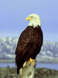 Bald Eagle on Post  USA