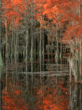 Cypress Swamp with Reflections  George Smith State Park  Georgia  USA