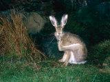 Brown Hare  Grooming  UK