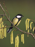 Great Tit  Perched on Hazel Catkins  UK