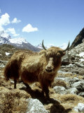 Domestic Yak  Khumbu Everest Region  Nepal