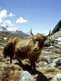 Domestic Yak, Khumbu Everest Region, Nepal Papier Photo par Paul Franklin