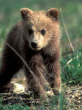 Grizzly Bear Cub in Alpine Meadow near Highway Pass  Denali National Park  Alaska