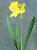 Daffodil Sequence