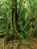 Rainforest Katway Tree  Buttress Roots