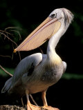 White Pelican  Everglades  Florida  USA