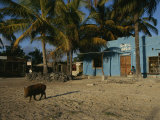 Wild Boar Wanders Through a Village on the Galapagos Islands