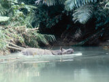 Javan Rhinoceros  Ujung Kulon  Indonesia
