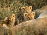Trio of Six Week Old Lion Cubs Looking Over Sleeping Mother  Masai Mara National Reserve Kenya