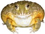 African Bullfrog South Africa