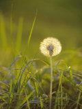 Dandelion in Evening Light  Scotland