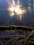 Sun Filters Through the Trees of the Coastal Mountain Range  Oregon  USA