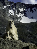 Wild Goats on Mountain  Boulder