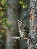 Long-Eared Owl  Asio Otus  Highlands  Scotland