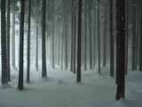 Snow Covers a Spruce Forest Papier Photo par John Eastcott & Yva Momatiuk